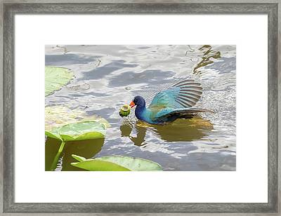 Purple Gallinule Framed Print by Phil Stone