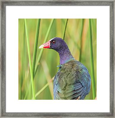 Purple Gallinule Framed Print