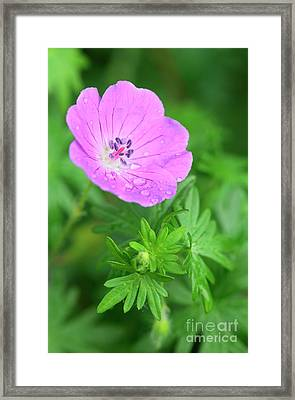 Purple Geranium Flower Framed Print by Neil Overy