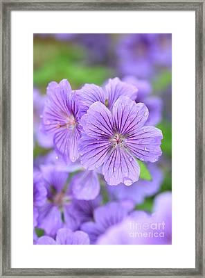 Purple Geranium Framed Print by Neil Overy