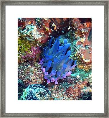 Purple Giant Sea Anemone Framed Print by Amy McDaniel