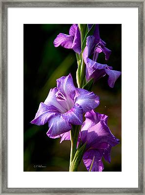 Purple Glads Framed Print by Christopher Holmes