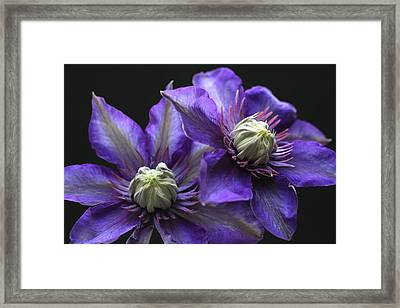 Purple Glow Clematis Framed Print by Tammy Pool