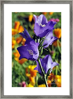 Purple Harebell Flowers Framed Print