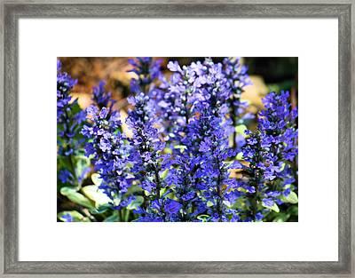Purple Haze Framed Print by Karen M Scovill
