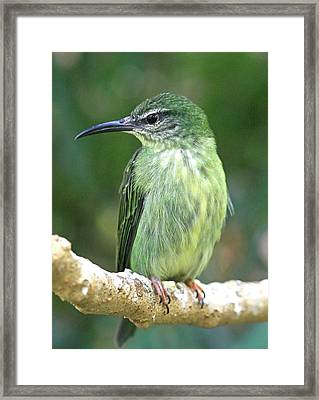 Purple Honeycreeper Female Framed Print