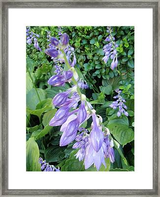 Framed Print featuring the photograph Purple Hosta Flowers by Beth Akerman