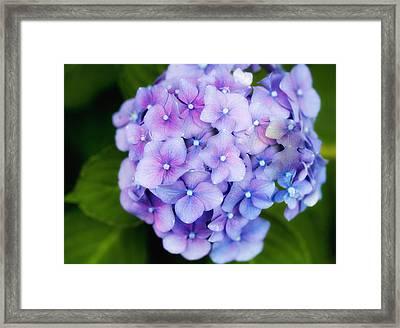 Purple Hydrangea Framed Print by Gina Cormier