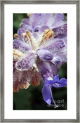 Purple Iced Blue New Mexico Wildflower Framed Print