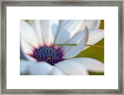 Purple In A Daisy Framed Print