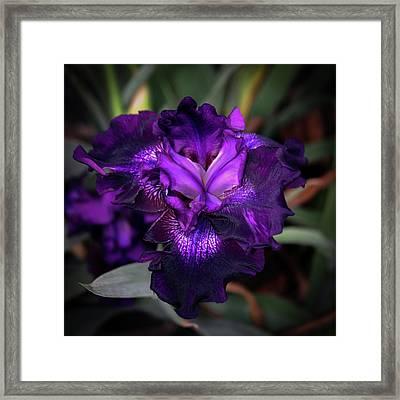 Purple Iris 5994 H_2 Framed Print