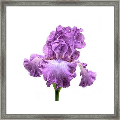 Purple Iris After The Rain Framed Print by David and Carol Kelly