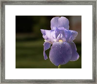 Purple Iris After The Rain Framed Print