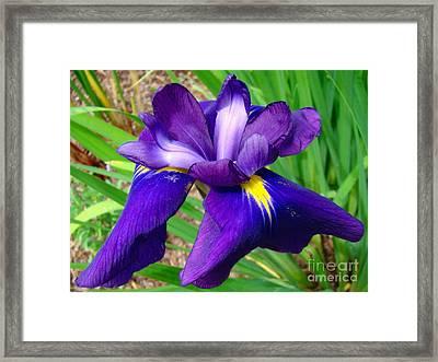 Purple Iris Beauty Framed Print by Sue Melvin