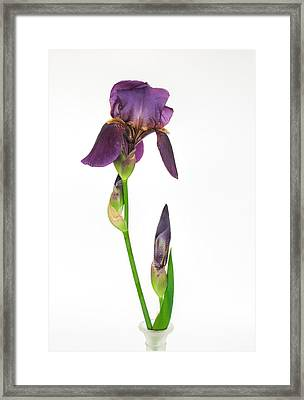 Purple Iris Flower And Bud Framed Print by David and Carol Kelly