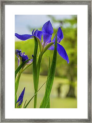 Framed Print featuring the photograph Purple Iris by Steven Ainsworth