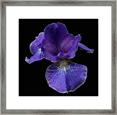 Purple Japanese Iris Framed Print