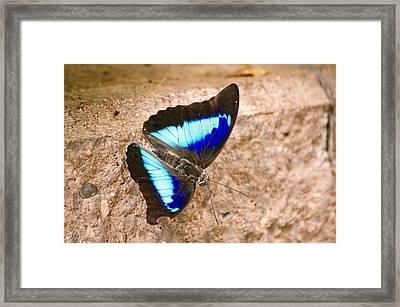 Purple King Shoemaker Butterfly Framed Print