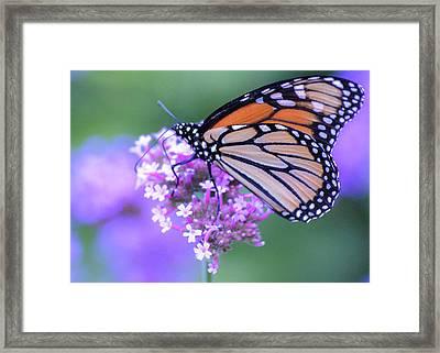 Purple Landing  Framed Print by Rosette Doyle
