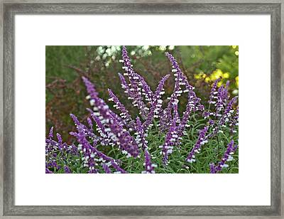 Purple Lavender Framed Print by Liz Santie