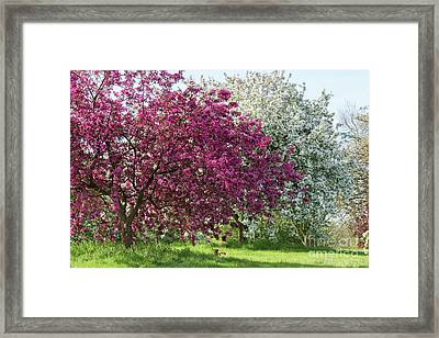 Purple Leaved Crab Apple Blossom In Spring Framed Print by Tim Gainey