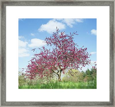Purple Leaved Crab Apple Tree Blossoming Framed Print