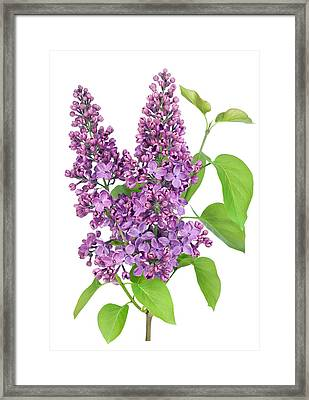 Purple  Lilac Isolated Branch Framed Print