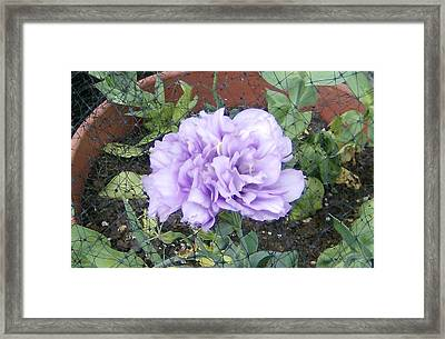 Framed Print featuring the photograph Purple Lisianthus by Skyler Tipton