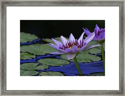 Purple Lotus Flower Framed Print by Lori Deiter