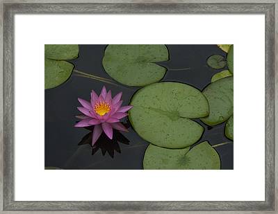 Purple Lotus Framed Print