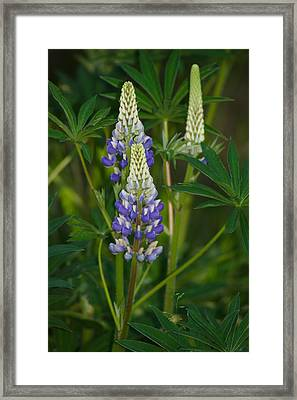 Purple Lupine Framed Print by Jeff VanDyke