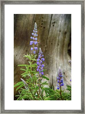 Purple Lupine Framed Print