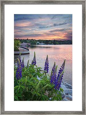 Purple Lupines On The Causeway Framed Print by Darylann Leonard Photography