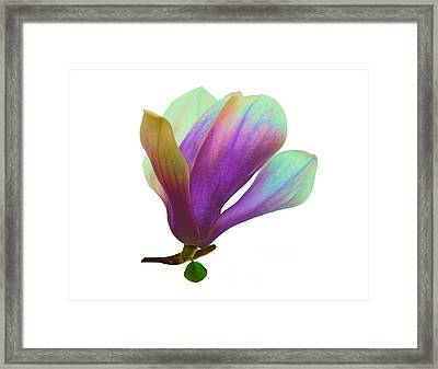 Purple Magnolia Framed Print