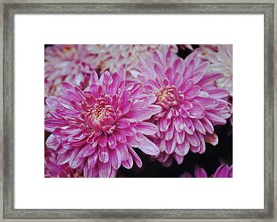 Purple Mums Framed Print by JAMART Photography