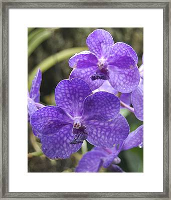 Purple Orchids Framed Print by Michael Peychich