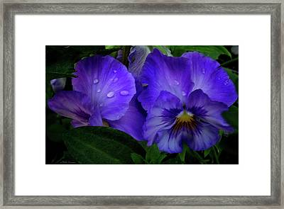 Purple Pansies Framed Print by Mikki Cucuzzo