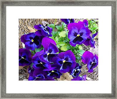 Framed Print featuring the photograph Purple Pansies by Sandi OReilly