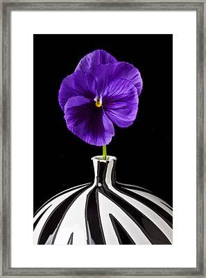Purple Pansy Framed Print