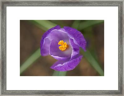 Purple Passion Framed Print by Patricia M Shanahan