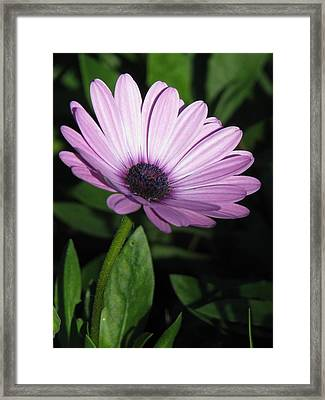 Purple Passion  Framed Print by Staci-Jill Burnley