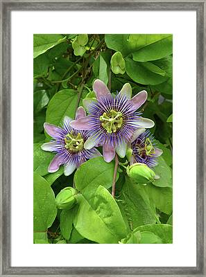 Purple Passion Vine 2 Framed Print by Aimee L Maher Photography and Art Visit ALMGallerydotcom