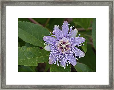 Purple Passionflower #2 Framed Print by Paul Rebmann