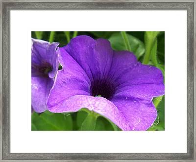 Purple Petunia Framed Print by Ellen B Pate