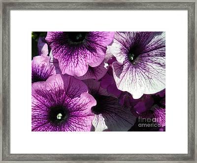 Purple Petunia Paradise Framed Print by Sonya Chalmers
