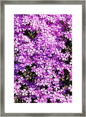 Purple Phlox Framed Print