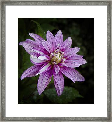 Framed Print featuring the photograph Purple Pink Dahlia by Ken Barrett
