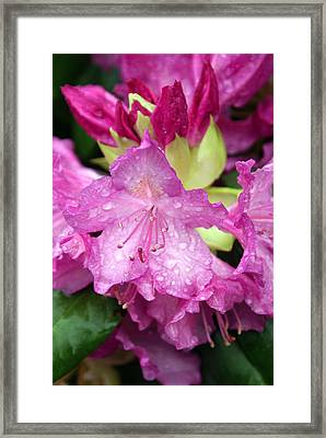 Purple Pink Framed Print by Marty Koch