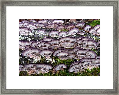 Purple Polypores Framed Print by Joshua Bales
