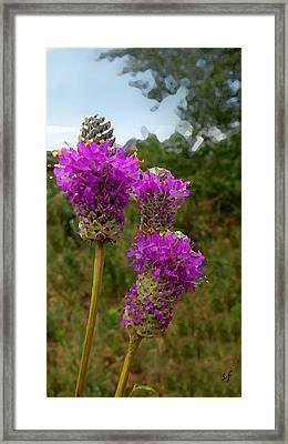 Purple Prairie Clover Framed Print